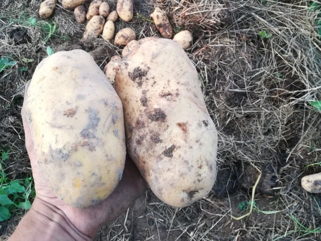 Сорт картофеля Королева Анна
