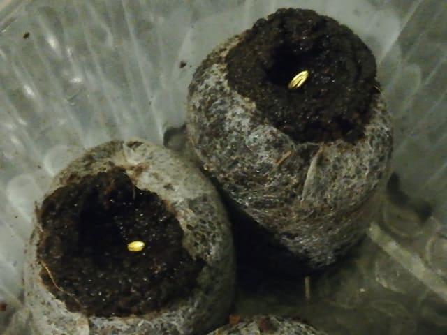 Посев герани семенами на рассаду