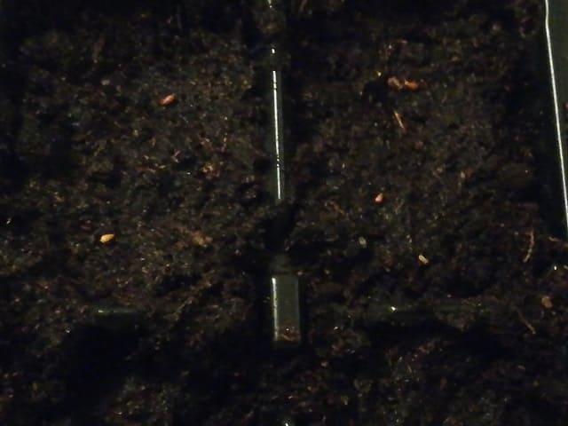 Посадка виолы на рассаду из семян