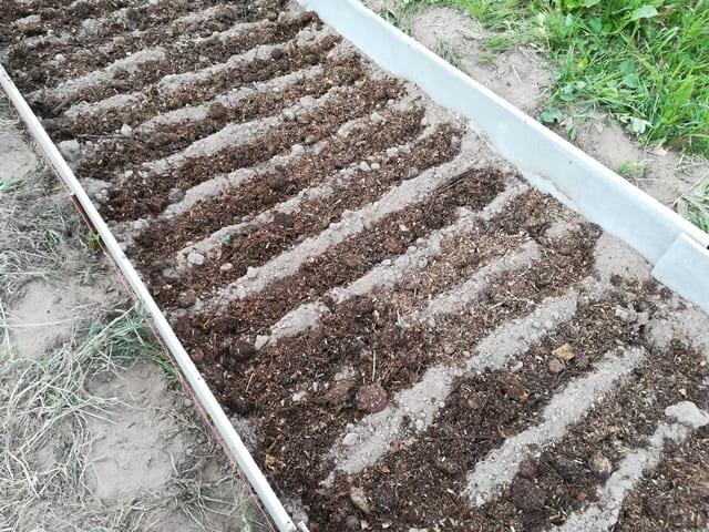 Как посадить свеклу в открытый грунт семенами