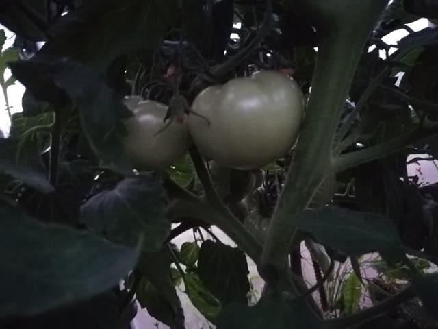 Какие томаты у меня на середину июня 2019 года